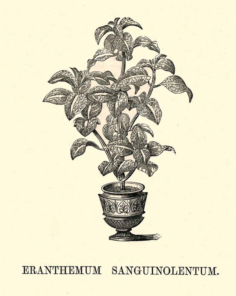 Eranthemum Sanguinolentum potted indoor pant
