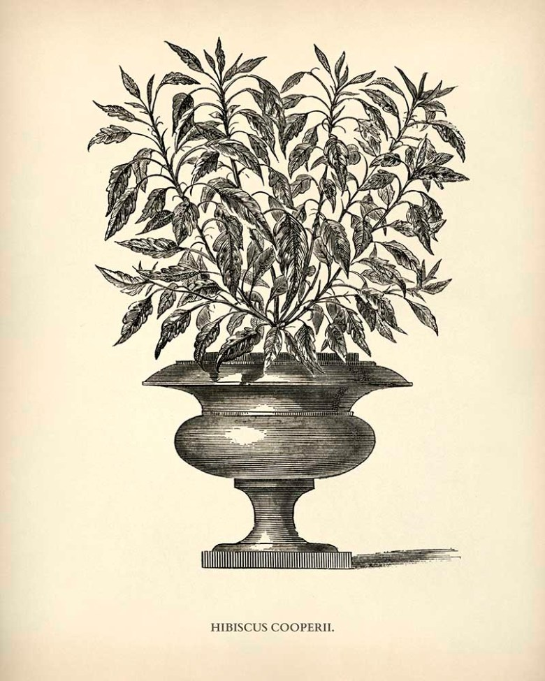 Hibiscus potted plant drawing