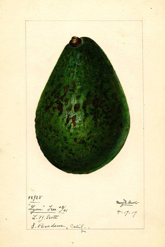 Lyon Avocado