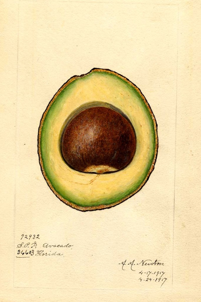 Mcdonald Avocado Cross-section