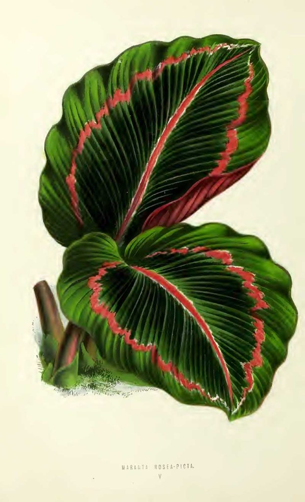 Arrowroot indoor plant illustration