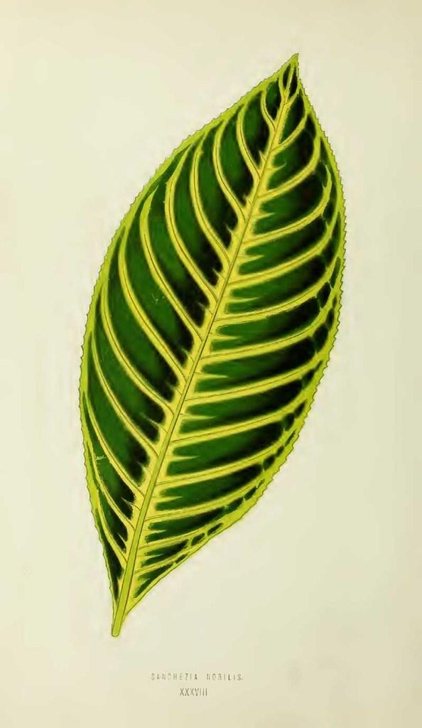 Sanchezia Tropica house plant
