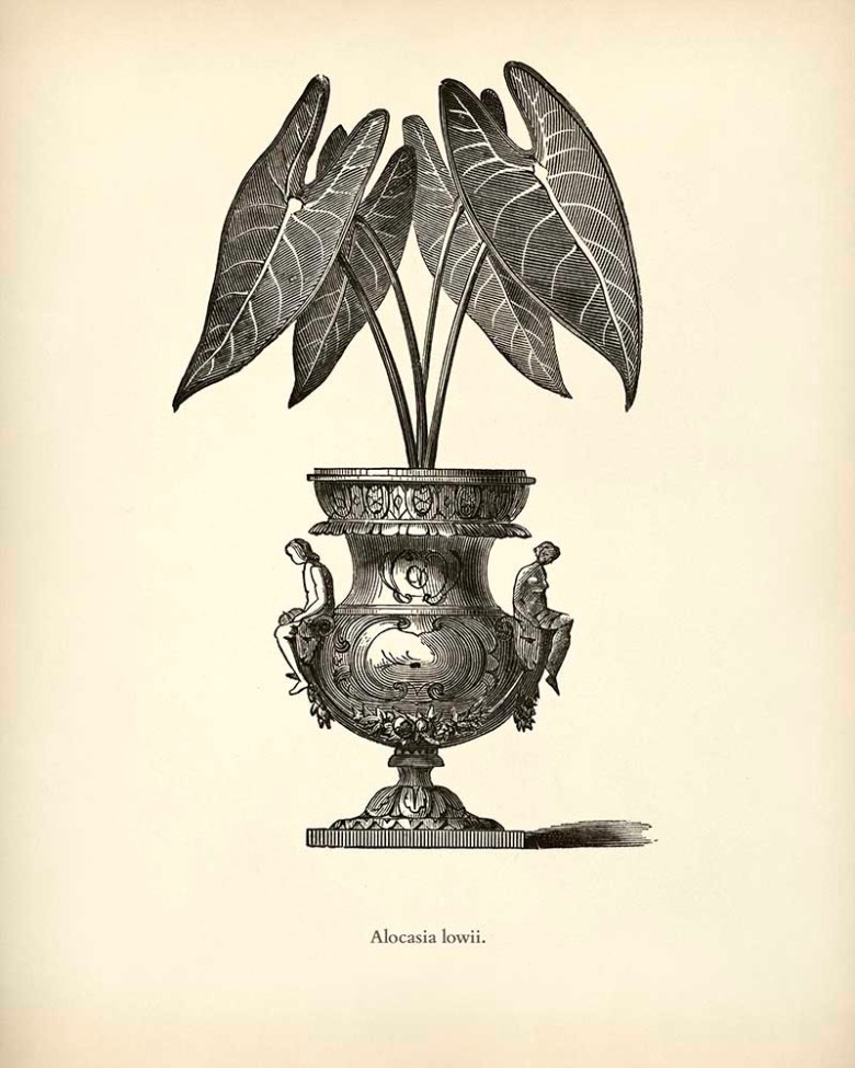 Elephants Ear Potted House plant drawing