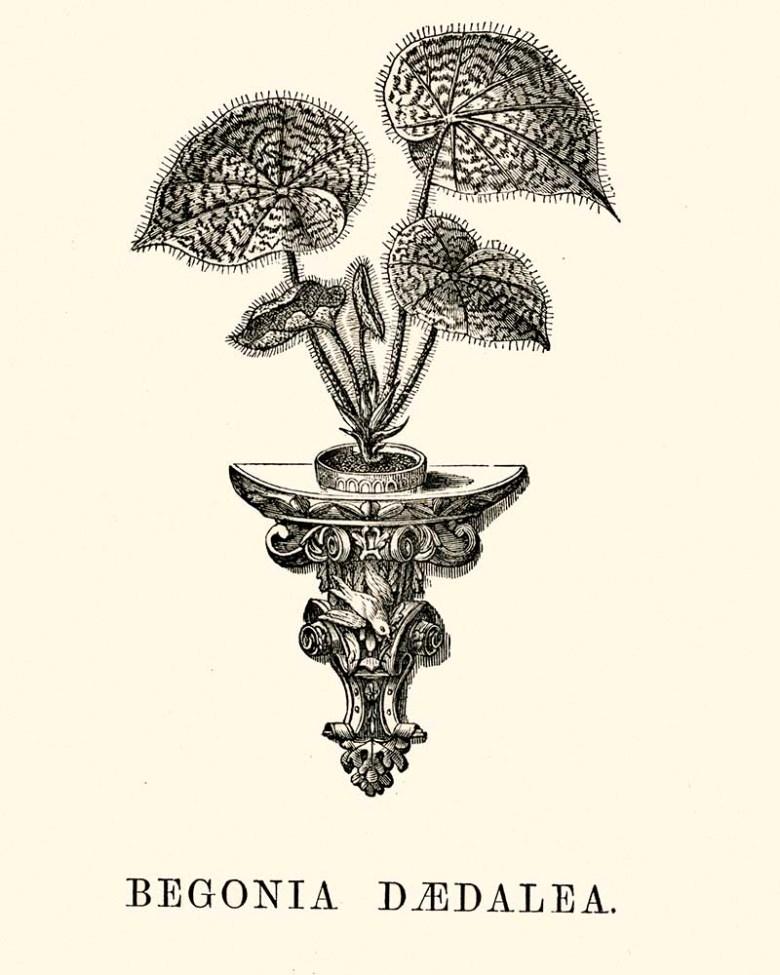 Begonia Daedalea