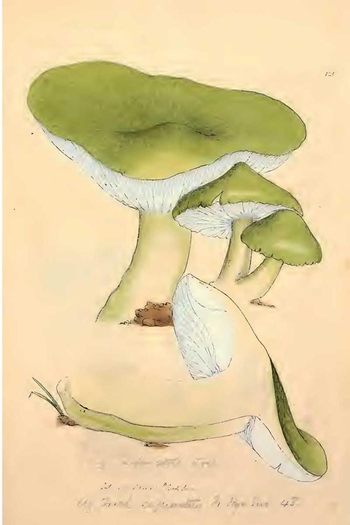 Tricholoma sejunctum