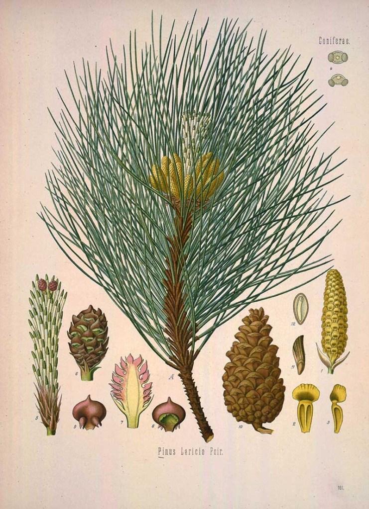 Pinus Negra