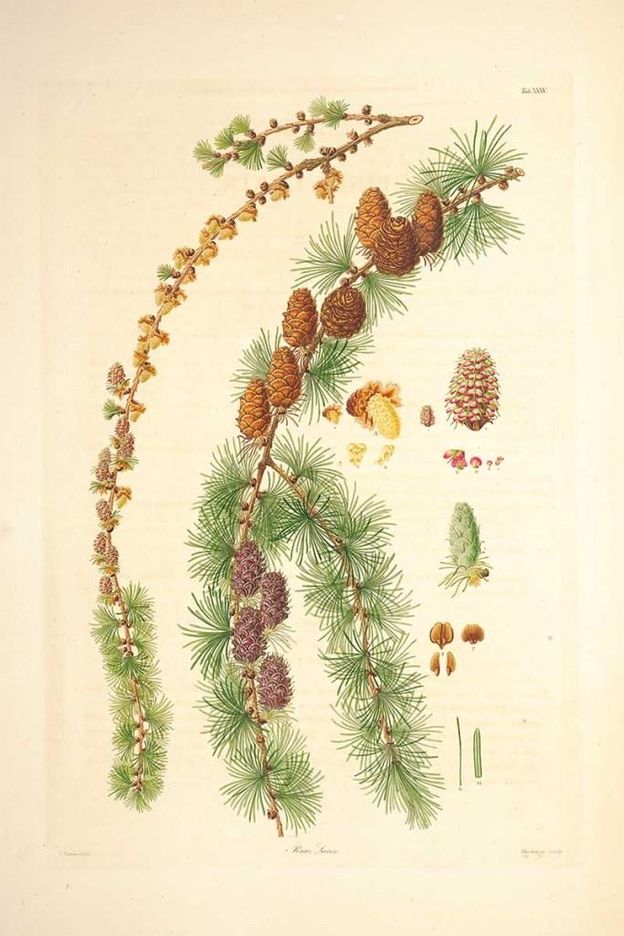 Pinus Larix