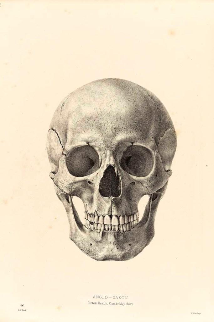 Drawing of a human skull, facing forwards