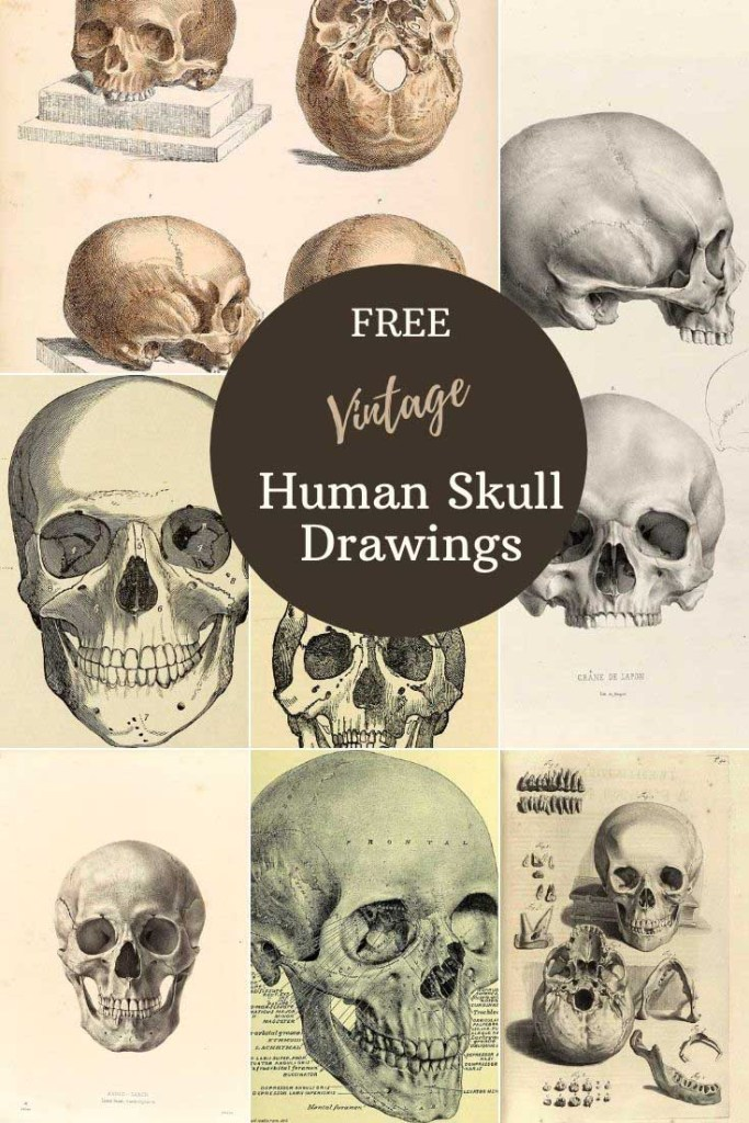 Antique human skull drawings and art