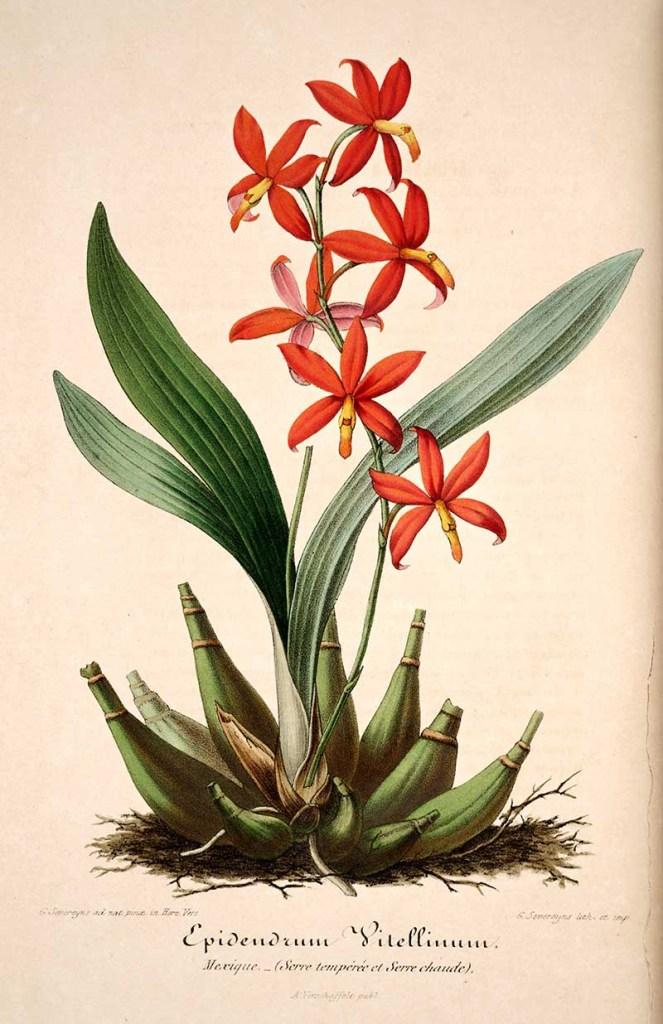 Prosthechea Vitelina botanical orchid painting