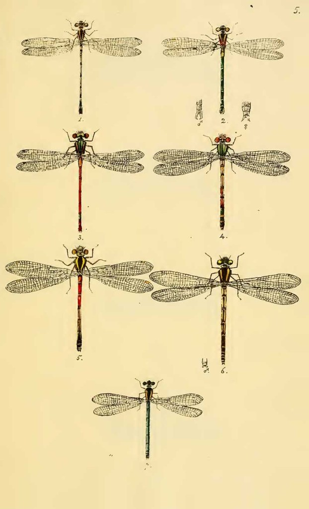 British Dragonfly drawings