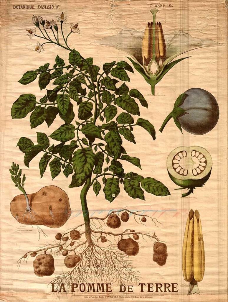 Deyrolle potato pster