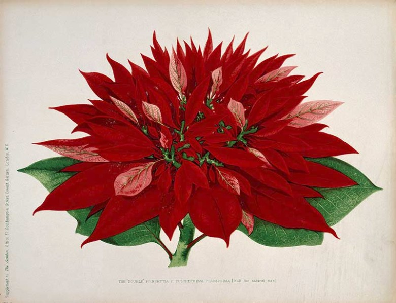 A Double Flowered Poinsettia Painting