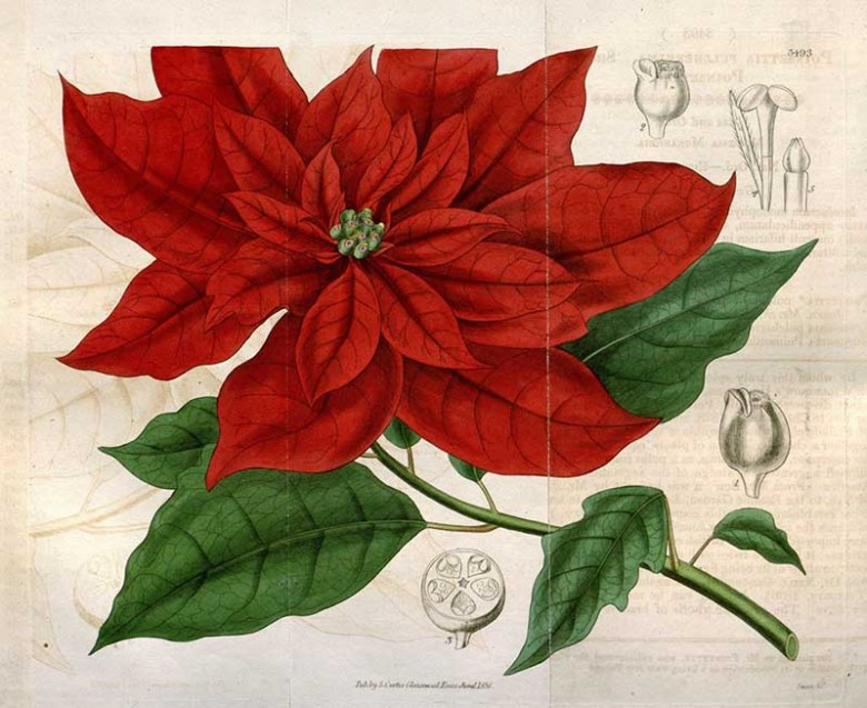 Vintage Poinsettia drawing