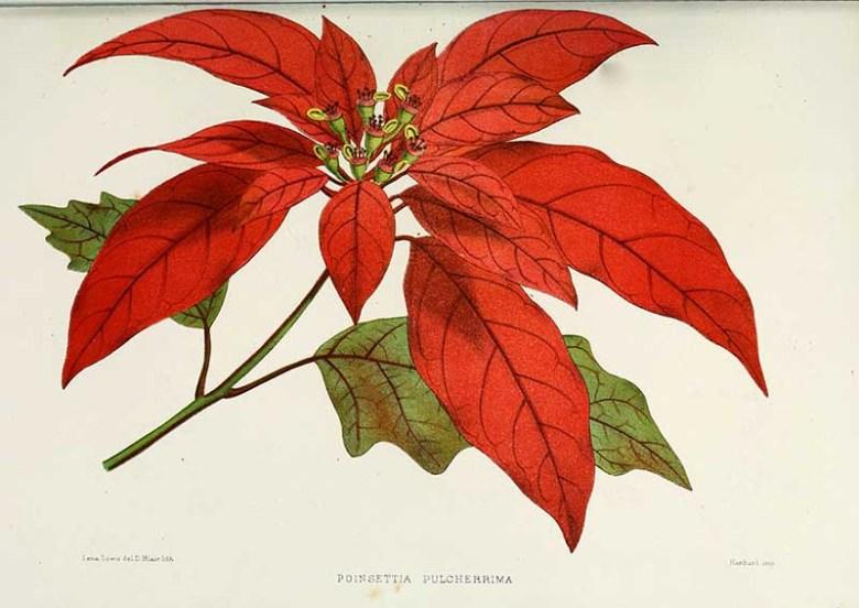 Flower-poinsettia-pulcherrima