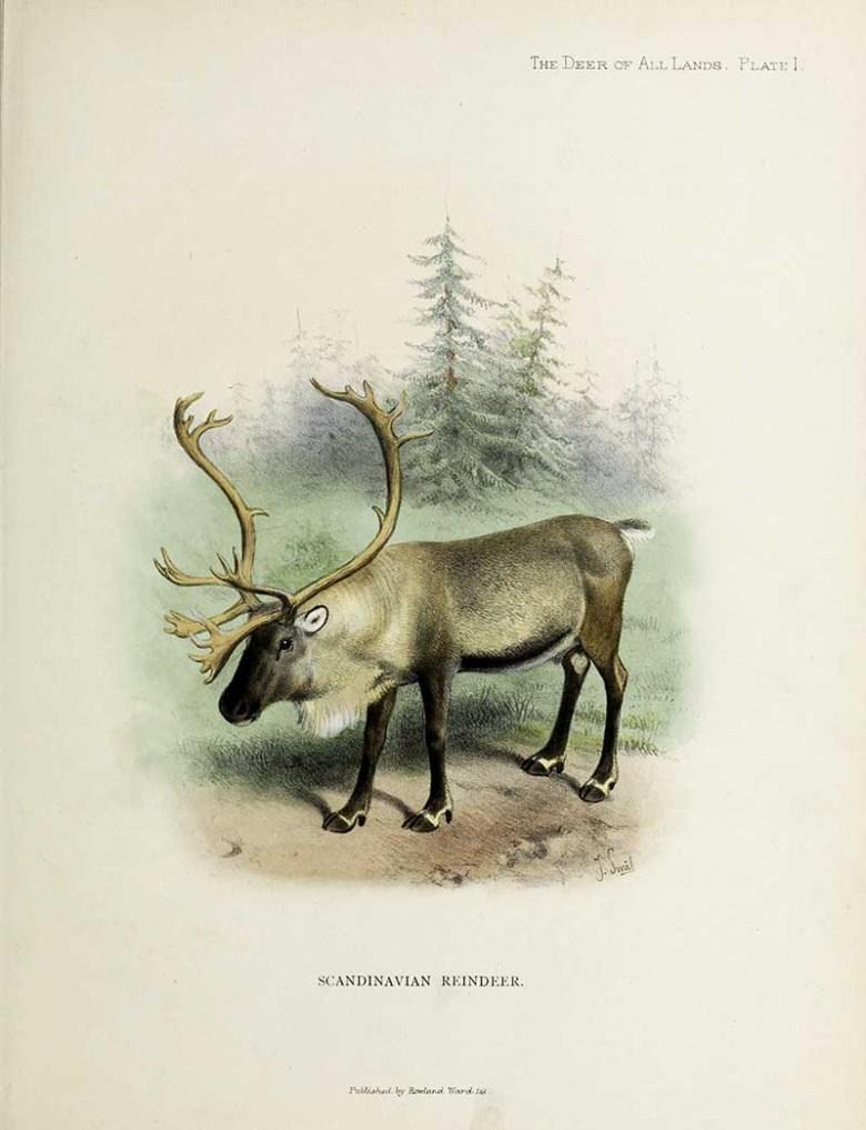 Scandinavian reindeer