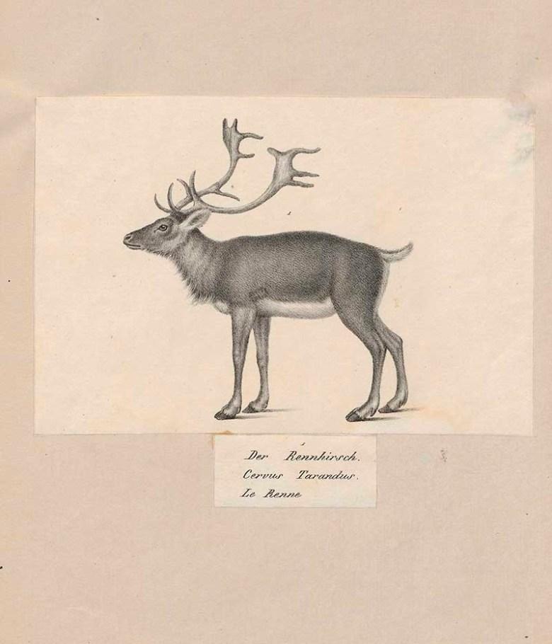 reindeer pencil drawings