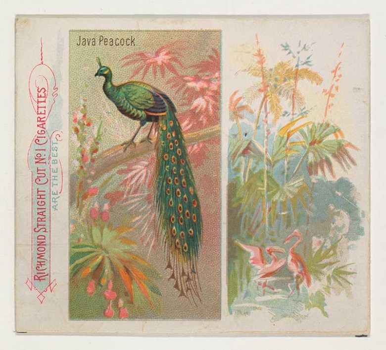 Peacock cigarette card illustration from the birds of the tropics series