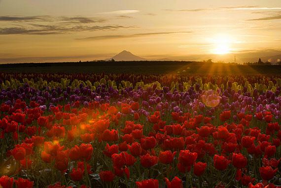 tulip landscape shot