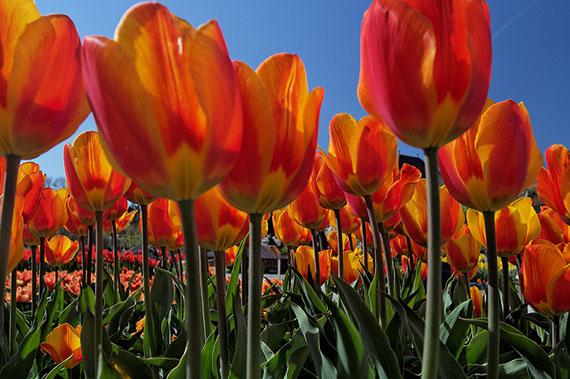 tulip picture tips