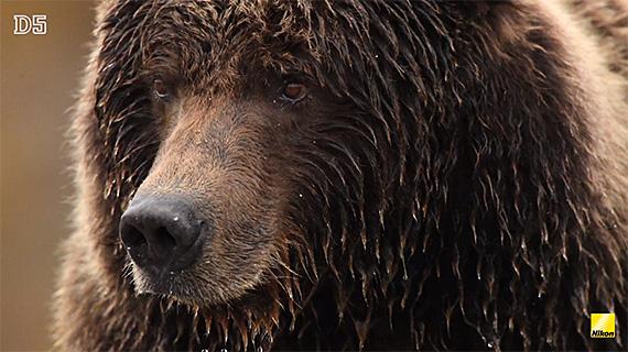 alaska grizzly bear photo
