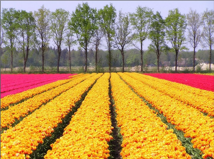 World Largest Flower Garden - Netherlands (20)