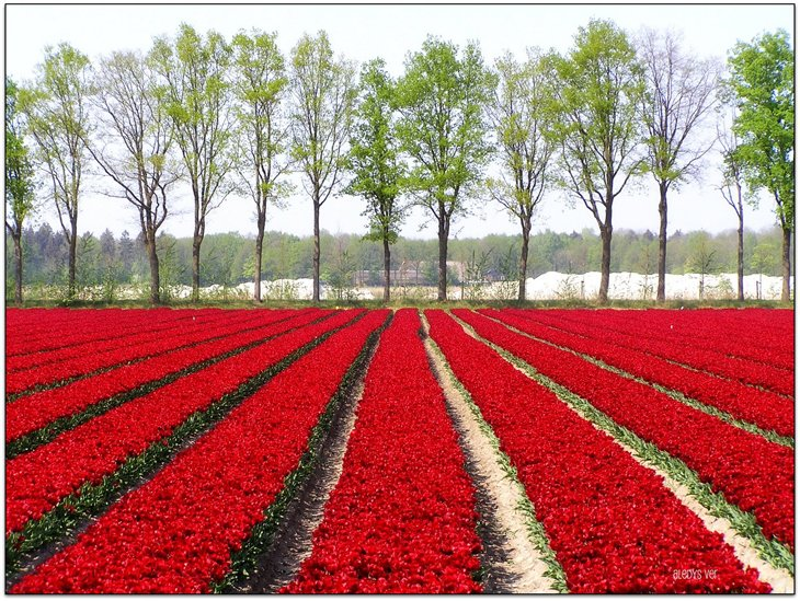 World Largest Flower Garden - Netherlands (19)