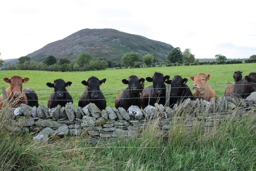Cows looking over at The Pie Mill