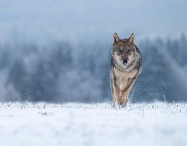 tempo da lupi