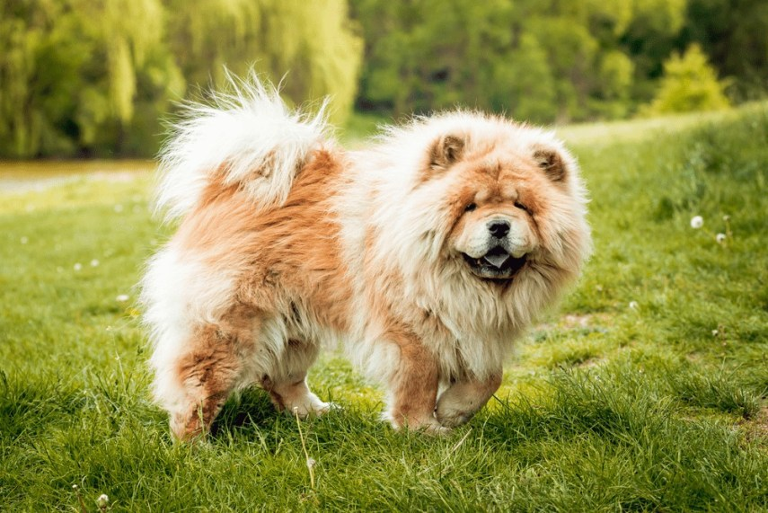 Pies Chow Chow