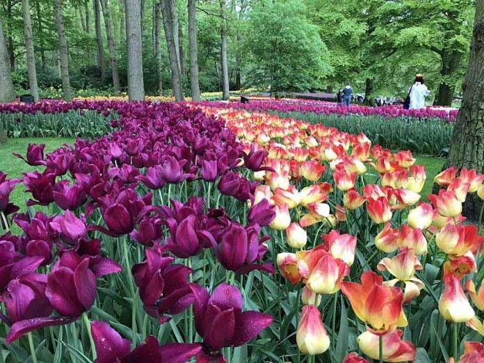tulipani colori keukenhof