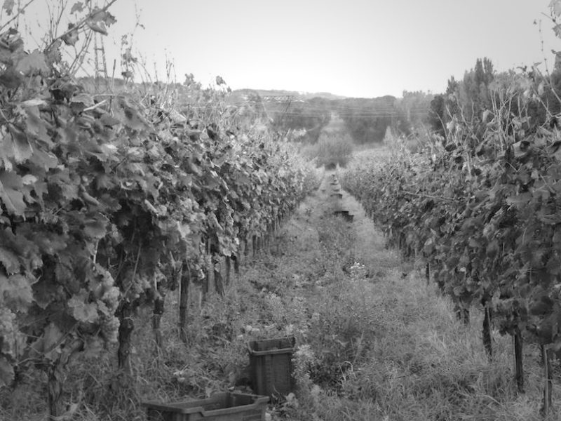 grapeharvest3