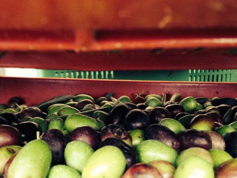 oliveharvest8