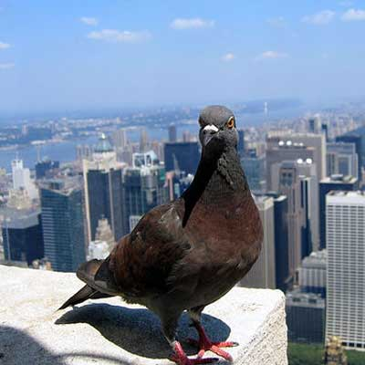 pigeon life