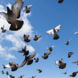 large pigeon flock flying
