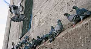 Bird Gone, Pigeon Gone, Pigeon problems, pigeon spikes, 1-877-4NO-BIRD, 4-S Gel, Bird Control, Pigeon Control, bird repellent, Bird Spikes, sonic bird repellent, stainless steel bird spikes, bird spikes Vancouver, Ultra Sonic Bird Control, Bird Netting, Plastic Bird Spikes, Canada bird spike deterrents, Pigeon Pests, B Gone Pigeon, Pigeon Patrol, pest controller, pest control operator, pest control technician, Pigeon Control Products, humane pigeon spikes, pigeon deterrents, pigeon traps, Pigeon repellents, Sound & Laser Deterrents, wildlife control, raccoon, skunk, squirrel deterrent, De-Fence Spikes, Dragons Den.