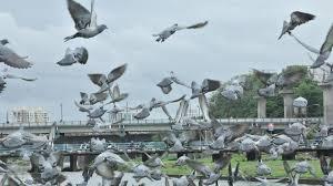 pigeon in sky