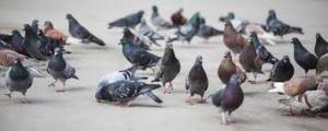 Pigeon m