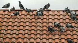 pigeon on property