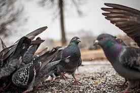 a flock of pigeons standing on droppings