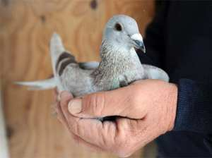 A pigeon is caressed in a hand
