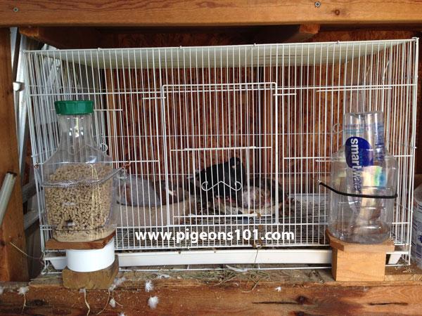 roller-pigeon-breeding
