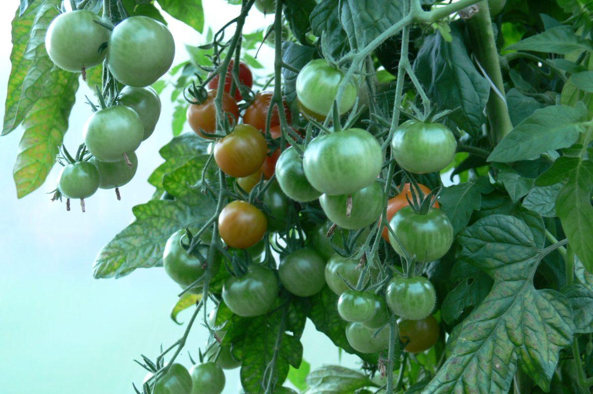 Kiinnostaako taimien esikasvatus? Nappaa tästä helpot ohjeet talteen.