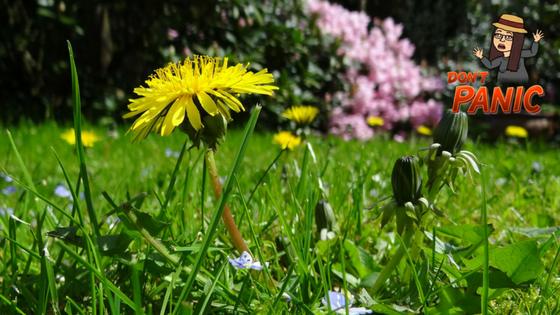 Voikukka nurmikolla
