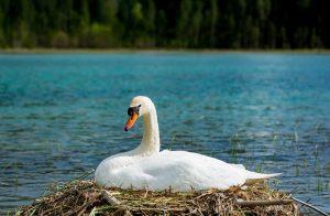Joutsen järvellä