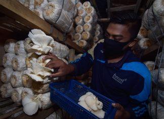 Suryadi memanen jamur tiram hasil budidayanya di Desa Cot Meureuboe, Kecamatan Kuta Makmur, Aceh Utara. (Foto/Suryadi)