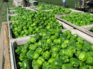 Mechanically harvesting peppers