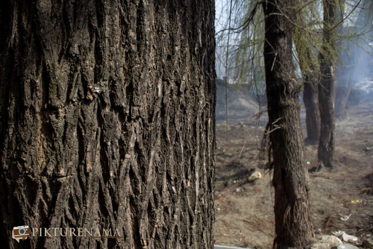 Will tree for Kashmir willow bat