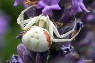 Araignée-blanche