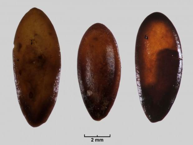 sementes de melão
